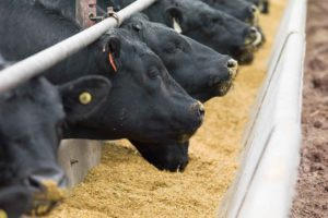 Types of Ruminant and Nutritious Livestock Feed