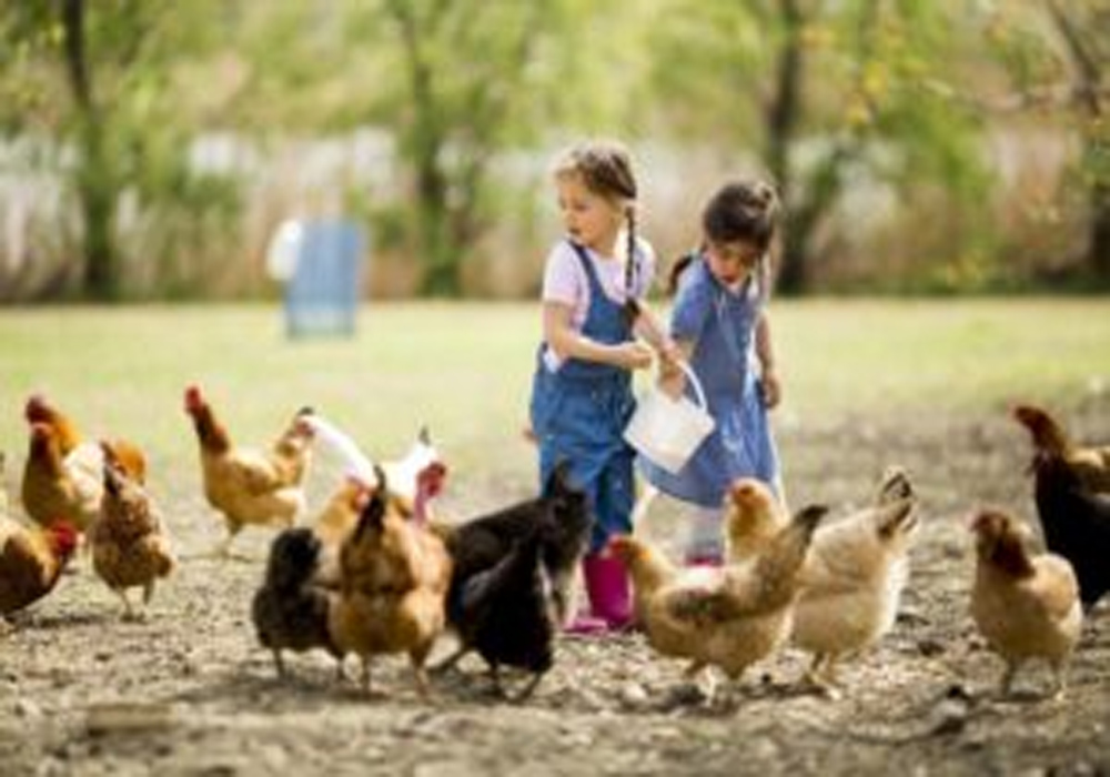 Raising Chickens at Home - Can Be A Fun And Interesting Hobby For Anyone