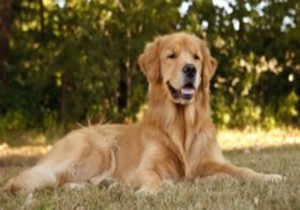 Golden Retriever Pets - What You Need to Know