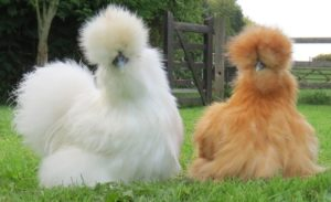 Chickens for Pets?