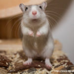 Where to Buy Gerbils - How To Choose A Healthy Pet