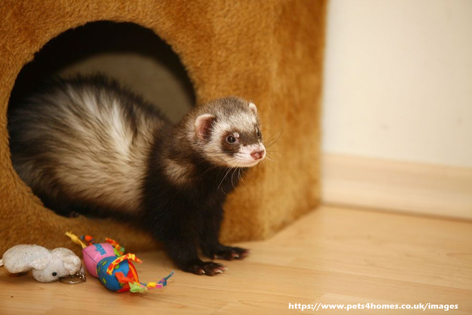 Why Ferrets Make Good Hunters – A Brief Exposition Into Ferret Hunting Talents
