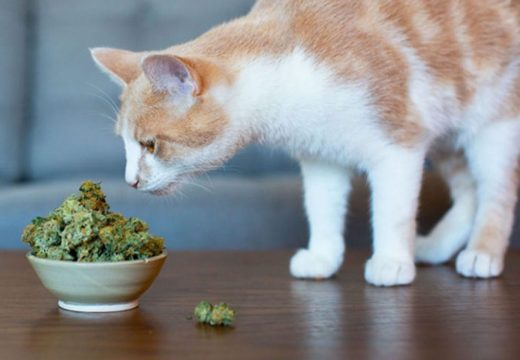 Why You Absolutely Need CBD Oil Cat Treats?
