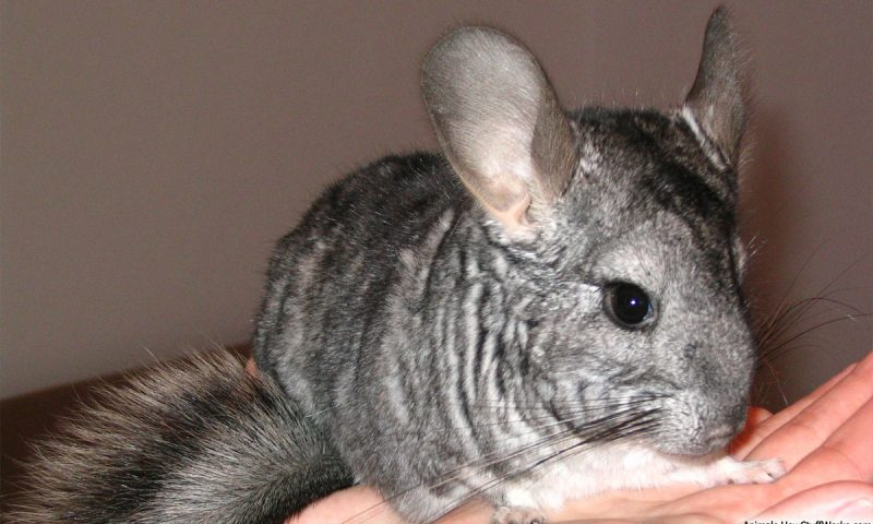 Chinchillas Are Good Pets