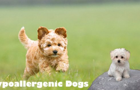 Hypoallergenic Dogs - Yes Allergy Sufferers - You can Possess a Dog!