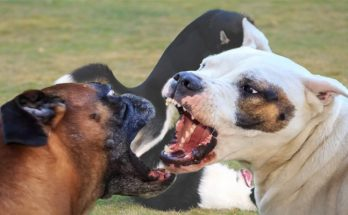 Dog On Dog Aggression Is Far more Learned Than Instinctive